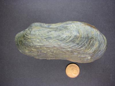 Pholadomya transversa SEEBACH