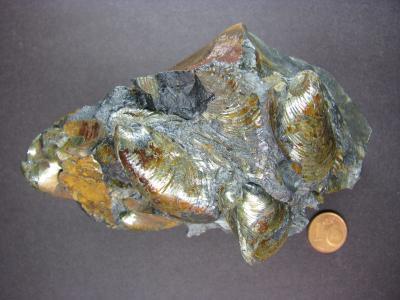 Inoceramus polyplocus ROEMER